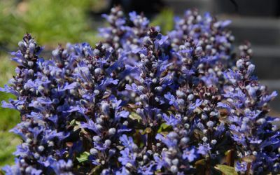 Ajuga reptans Chocolate Chip - Zwerg-Bronze-Günsel