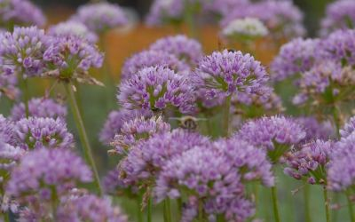 Allium senescens ssp. senescens - Ausdauernder Lauch, Berg-Lauch