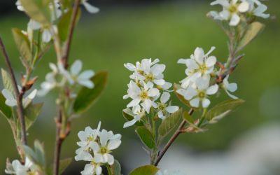 Amelanchier rotundifolia - Echte Felsenbirne