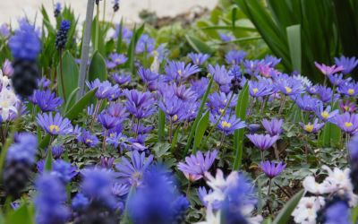 Anemone blanda Blue Shades - Frühlings-Anemone