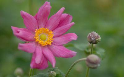 Anemone Japonica-Hybride Prinz Heinrich - Herbst-Anemone