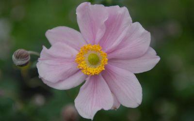 Anemone Japonica-Hybride Serenade - Herbst-Anemone