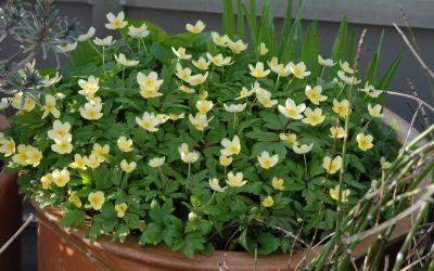 Anemone x lipsiensis Vindobonensis - Buschwindröschen