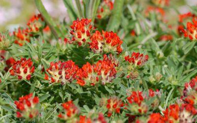 Anthyllis vulneraria ssp. coccinea - Wundklee
