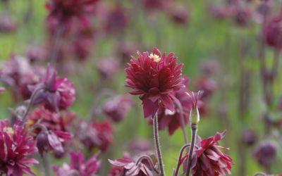 Aquilegia Vulgaris-Hybride Bordeaux Barlow - Spornlose Akelei