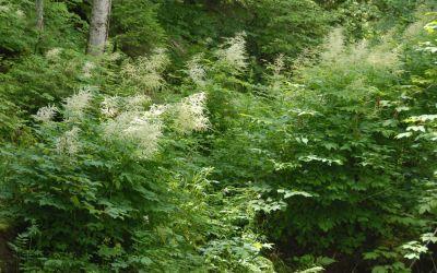 Aruncus dioicus - Wald-Geißbart
