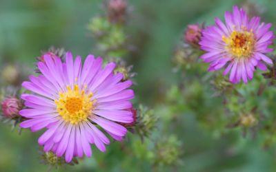 Aster x amethystinus Herbstleuchten - Kleinblütige Herbst-Aster