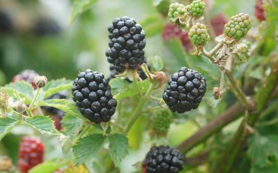 Brombeere Navaho® Summerlong® - Rubus fruticosus
