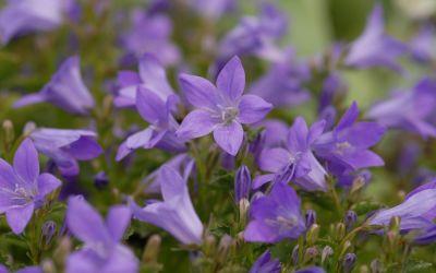 Campanula portenschlagiana Resholt - Polster-Glockenblume