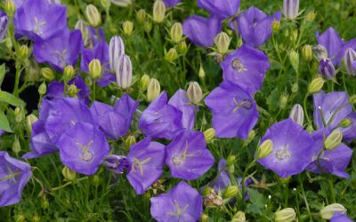 Campanula carpatica Tiefblaue Clips - Karpaten-Glockenblume