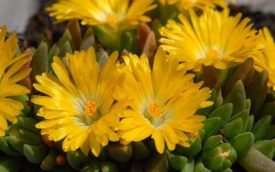 Delosperma congestum Golden Nugget - Winterharte Mittagsblume