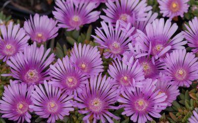 Delosperma Hybride Lavander - Mittagsblümchen