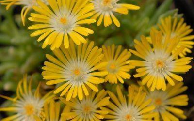 Delosperma Hybride Luna - Winterharte Mittagsblume