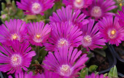 Delosperma Hybride Tiffendell KG - Winterharte Mittagsblume