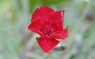 Dianthus gratianopolitanus Rubin - Pfingst-Nelke