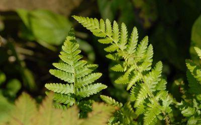 Dryopteris filix-mas - Gewöhnlicher Wurmfarn
