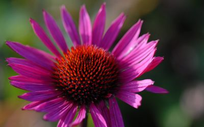 Echinacea purpurea 'Fatal Attraction' � - Scheinsonnenhut