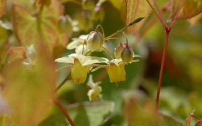 Epimedium x perralchicum Frohnleiten - Elfenblume