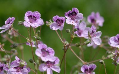 Erodium cheilanthifolium - Reiherschnabel