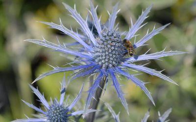 Eryngium x zabelii Blauer Ritter - Garten-Mannstreu