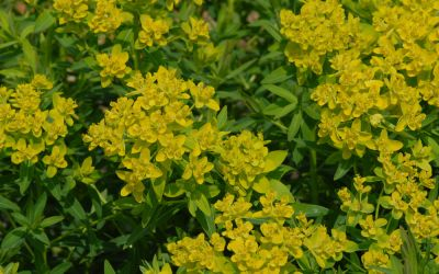 Euphorbia palustris Teichlaterne - Sumpf-Wolfsmilch