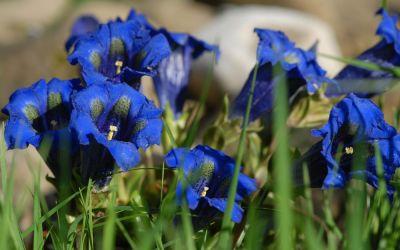 Gentiana acaulis (hort.) - Stängelloser Garten-Enzian