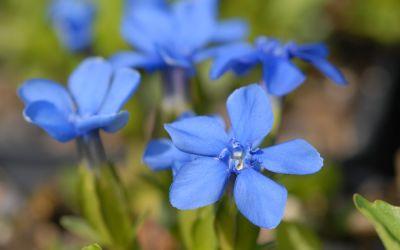 Gentiana verna ssp. angulosa - Frühlings-Enzian, Schusternagerl