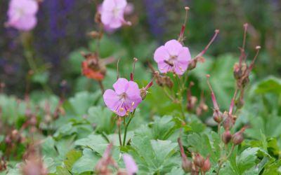Geranium x cantabrigiense Berggarten - Storchschnabel