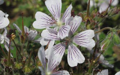 Geranium renardii - Kaukasus-Storchschnabel