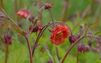 Geum rivale Flames of Passion ® - Nelkenwurz