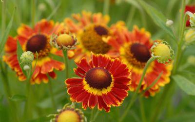 Helenium autumnale Fuego ® - Sonnenbraut