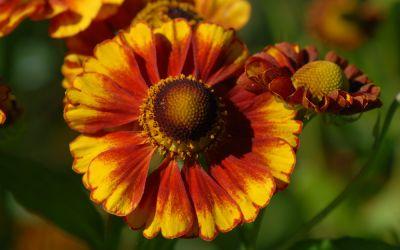 Helenium Hybride Vicky - Sonnenbraut