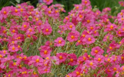 Helianthemum Hybride Ben Hope - Sonnenröschen