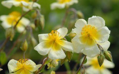 Helianthemum Hybride Elfenbeinglanz - Sonnenröschen