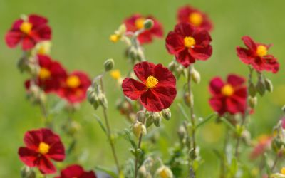Helianthemum Hybride Red Orient - Sonnenröschen