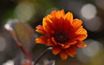 Heliopsis helianth. var. scabra Bleeding Hearts - Sonnenauge