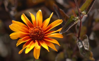 Heliopsis helianth. var. scabra Burning Hearts - Sonnenauge