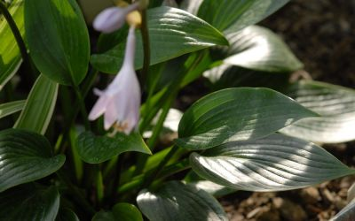 Hosta Hybride Devon Green - Funkie