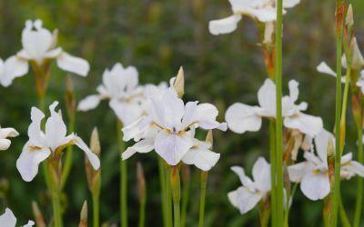 Iris sibirica Hohe Warte - Wiesen-Schwertlilie