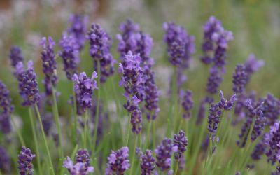 Lavandula angustifolia Peter Pan - Zwerg-Lavendel