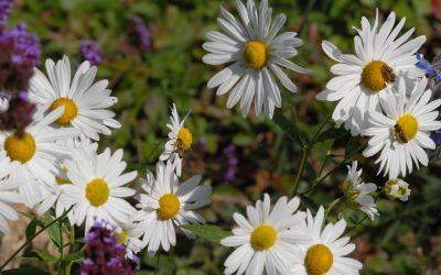 Leucanthemella serotina Herbststern - Oktober-Margerite