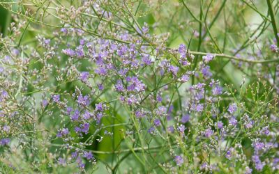 Limonium latifolium  - Strandflieder, Steppenschleier