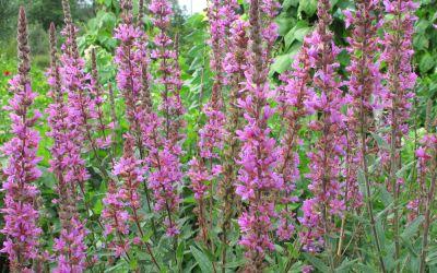 Lythrum salicaria - Blut-Weiderich