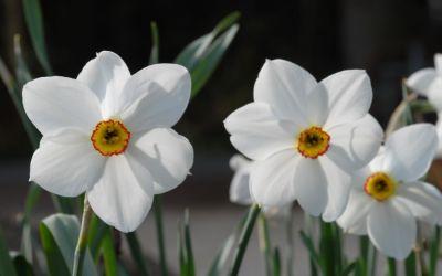 Narcissus poeticus Recurvus - Poeticus Narzisse