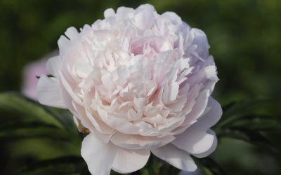 Paeonia lactiflora Albert Crousse - Edel-Pfingstrose