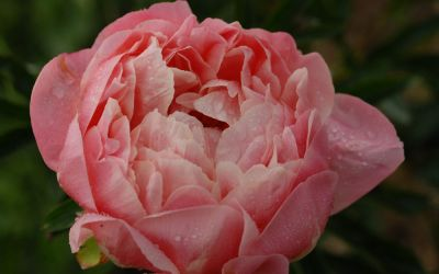Paeonia Hybride Coral Charm - Pfingstrose