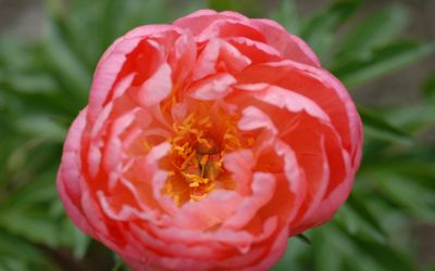 Paeonia Hybride Coral Sunset - Pfingstrose