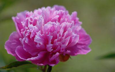Paeonia lactiflora Edulis Superba - Edel-Pfingstrose