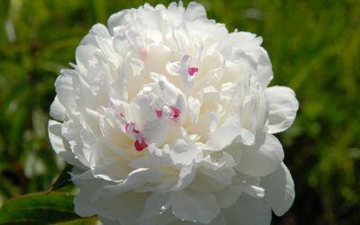 Paeonia lactiflora Festiva Maxima - Edel-Pfingstrose
