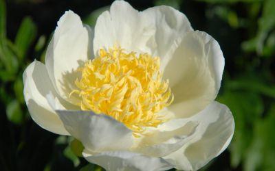 Paeonia lactiflora Jan van Leeuwen - Edel-Pfingstrose